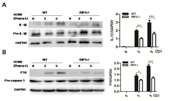 RIP3 promotes the activation of caspase-1.