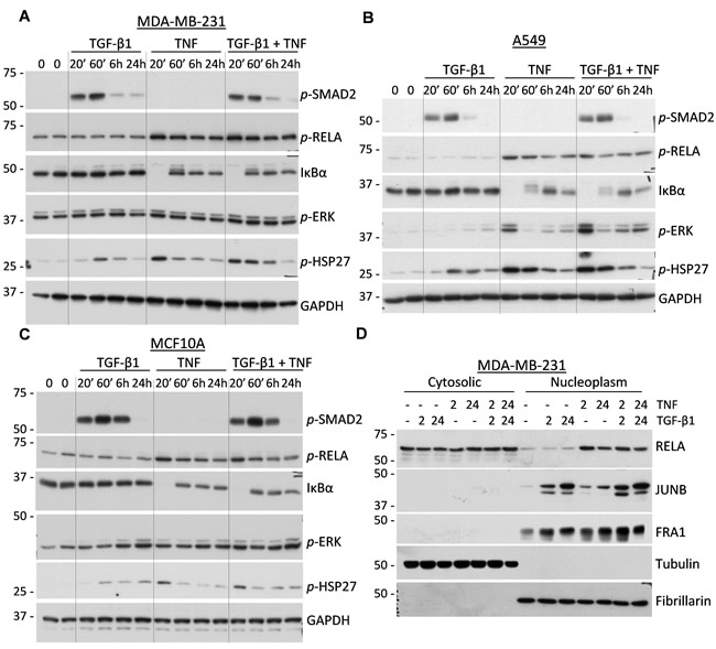 Regulation of signal transduction cascades in response to TGF-β1 and TNF.