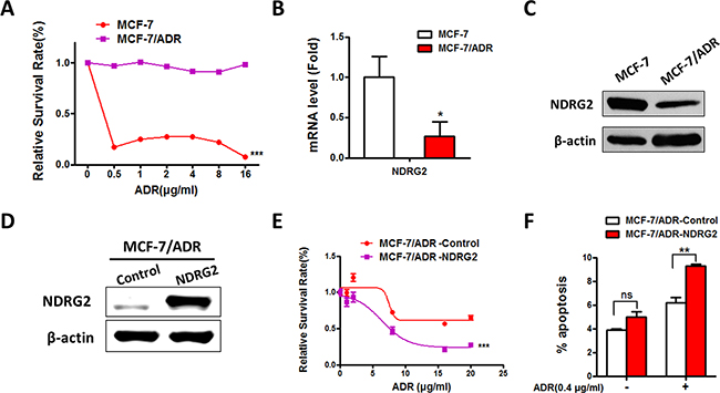 Expression of NDRG2 in MCF-7/ADR and MCF-7 cells and the effect of NDRG2 in ADR sensitivity.