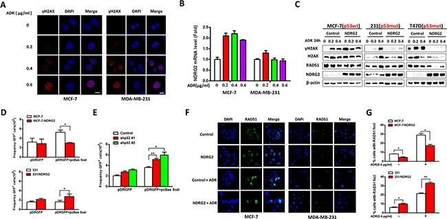 NDRG2 overexpression enhances DNA damage.