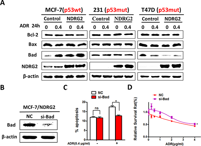 NDRG2 exerts its apoptotic effects by improving Bad expression.