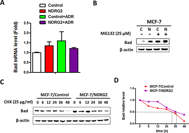NDRG2 regulates the protein stability of Bad.