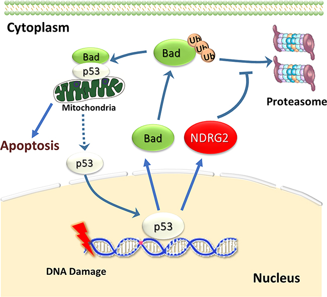NDRG2 prevents p53 from entering nucleus by Bad/p53 complex.