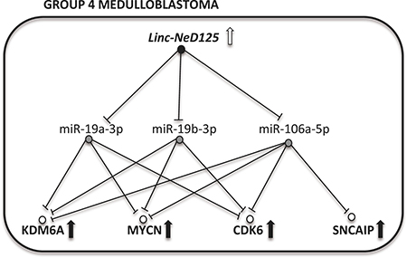 A model of linc-NeD125-dependent ceRNA network in G4 MB.