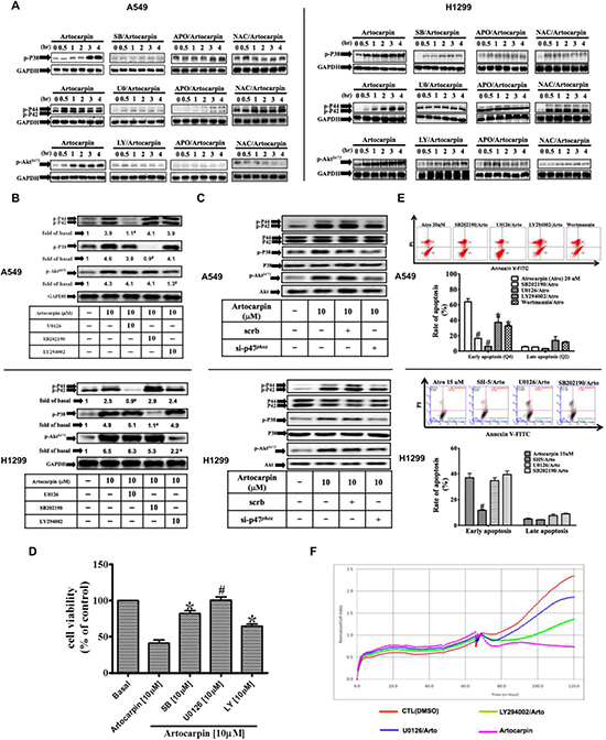 ROS-dependent MAPKs activation is involved in artocarpin-induced apoptosis in A549 and H1299 cells.
