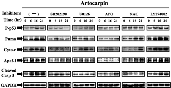 Artocarpin up-regulated the expression of p53-dependent apoptotic proteins via p38 MAPK and ERK1/2 pathway, but not by Akt pathway.