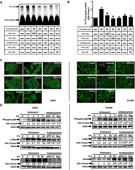 Artocarpin induced activation of NF-kB and expression of c-Myc/Noxa via Akt pathway.