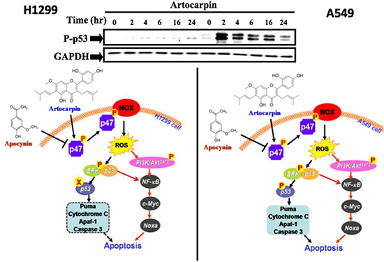Schematic diagram showing the proposed signaling pathways involved in artocarpin-induced apoptosis in A549 and H1299 cells.