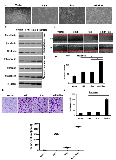 c-kit cooperated with activated oncogenic Ras to promote tumorigenesis.