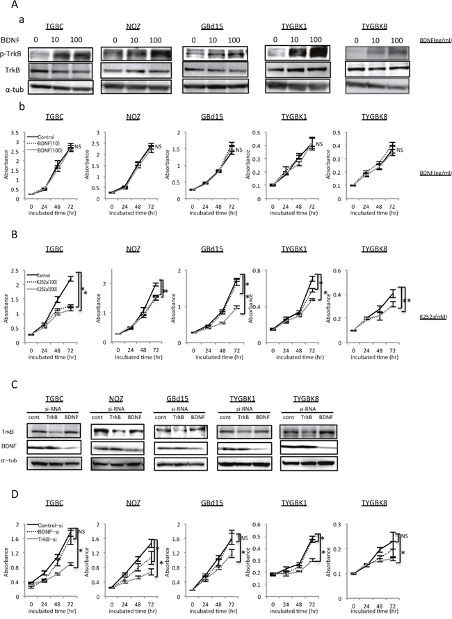 TrkB-mediated signaling is involved in proliferation of GBC cells with expression of endogenous TrkB and BDNF.