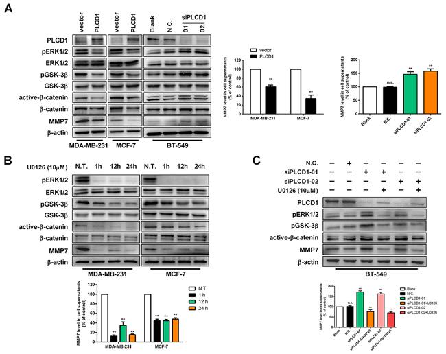 PLCD1 suppresses ERK1/2/β-catenin/MMP7 signalling.