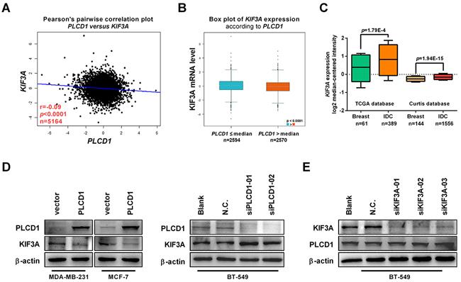 PLCD1 suppresses KIF3A in breast cancer.
