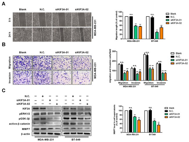 Knockdown of KIF3A suppresses cell migration and invasion in vitro.