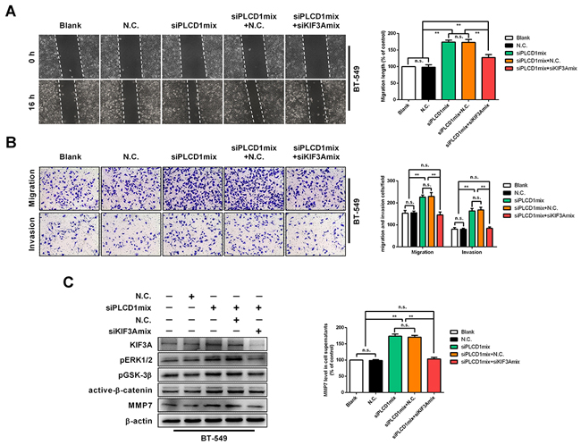 KIF3A acts as a downstream mediator of PLCD1.