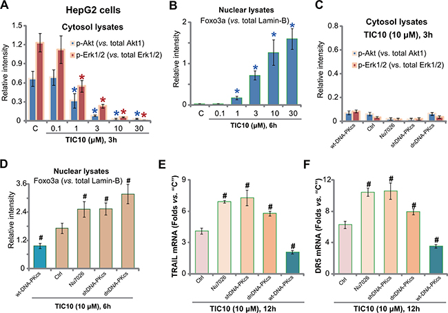 DNA-PKcs counteracts TIC10-induced Foxo3p nuclear translocation.