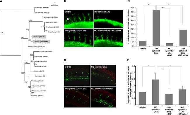 Ephrin-B3 promotes angiogenesis through inhibition of EphA4-induced cell death during zebrafish development.