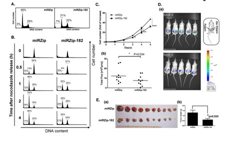 miR-182 increases cancer cell proliferation.