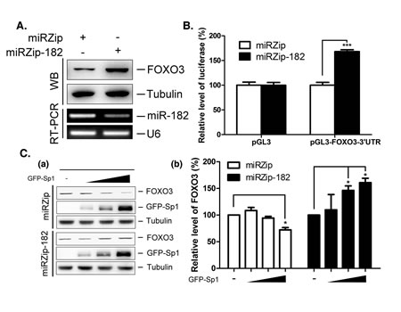 Regulation of FOXO3 by miR-182 and Sp1.