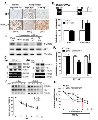 Sp1 negatively regulates FOXO3 expression through regulating miR-182.