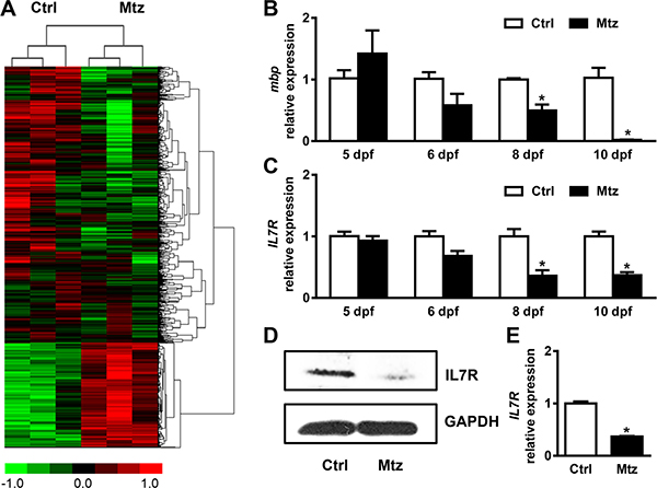 IL-7R is down-regulated during targeted demyelination.