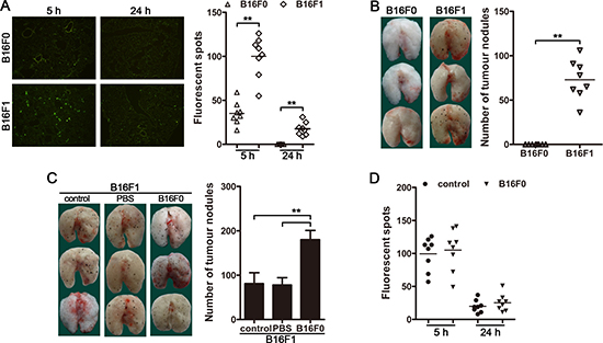CTCs promote the metastatic colonization of disseminated carcinoma cells.