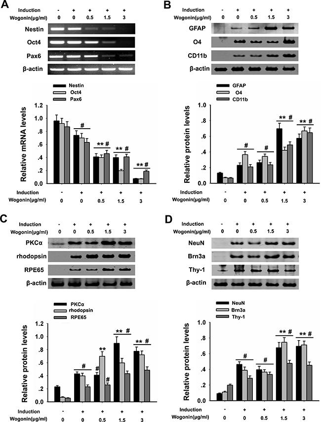 Wogonin enhances neural differentiation of BMSCs.