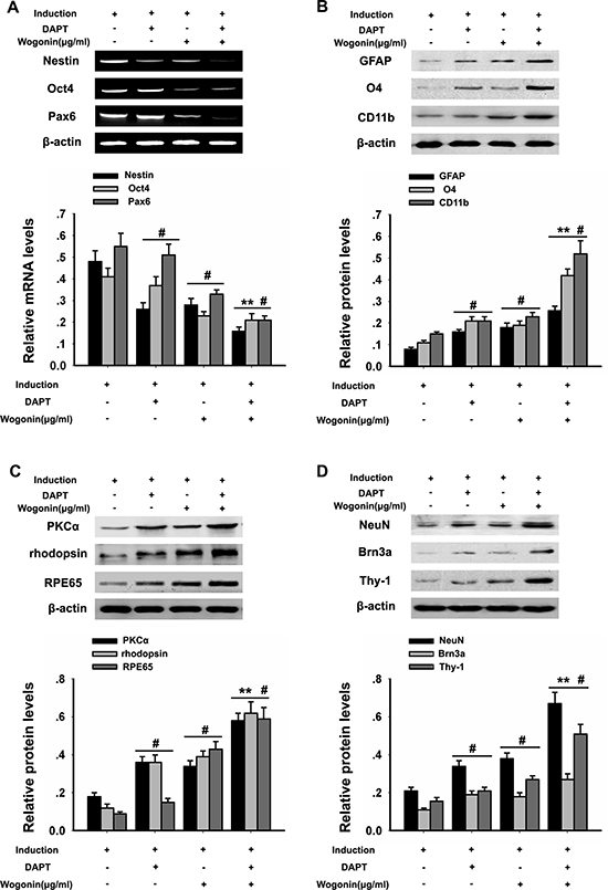 Effects of wogonin and DAPT on neural differentiation of BMSCs.