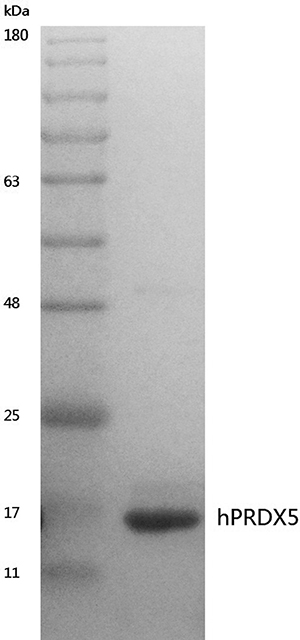 Coomassie stained SDS-PAGE gel of purified hPRDX5.