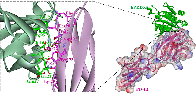 Overall structure of the hPRDX5/PD-L1 complex (right).