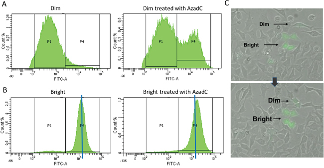(A, B) Dim (A) and Bright (B) populations were sorted using FACS and then the sorted populations were treated with a daily dose of AzadC for 48 hours.