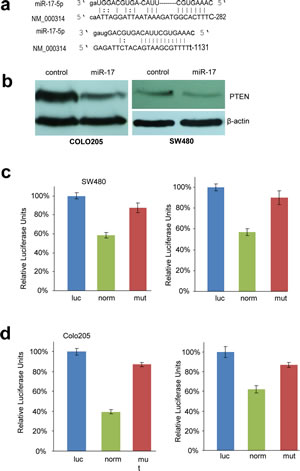 Fig 3: PTEN is targeted by miR-17-5p in colorectal adenocarcinoma cells.