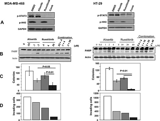 Figure 3. Combination treatment with the Aurora A inhibitor, Alisertib, and the JAK2 inhibitor, Ruxolitinib, is more effective than single treatment at inhibiting anchorage-independent growth and invasion and at inducing apoptosis.