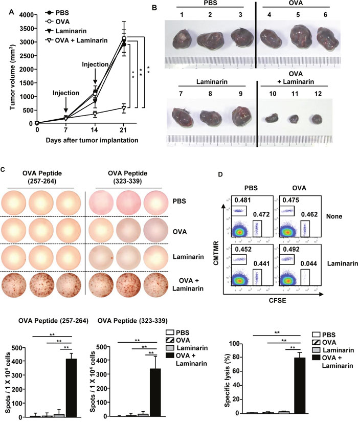 The combined laminarin and OVA treatment inhibited B16-OVA tumor growth.