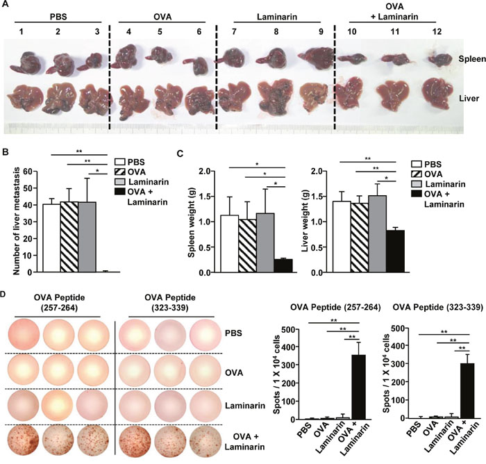 Treatment with laminarin and OVA inhibited liver metastasis of B16-OVA tumor cells.