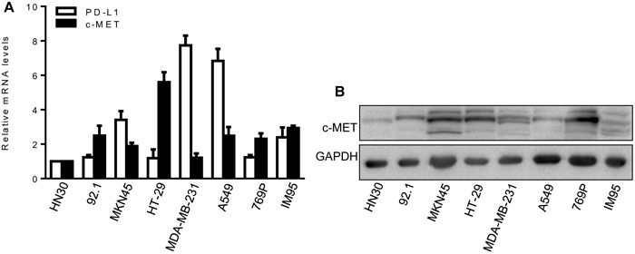 Expression of c-MET and PD-L1 in cancer cell lines.