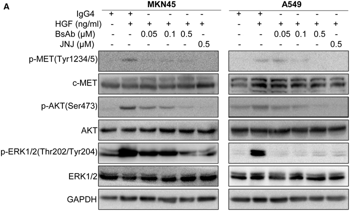 BsAb inhibits HGF-induced c-MET and its downstream molecules.