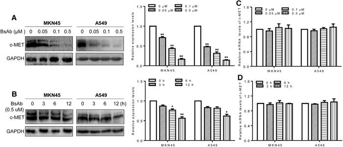 BsAb promotes c-MET protein degradation.