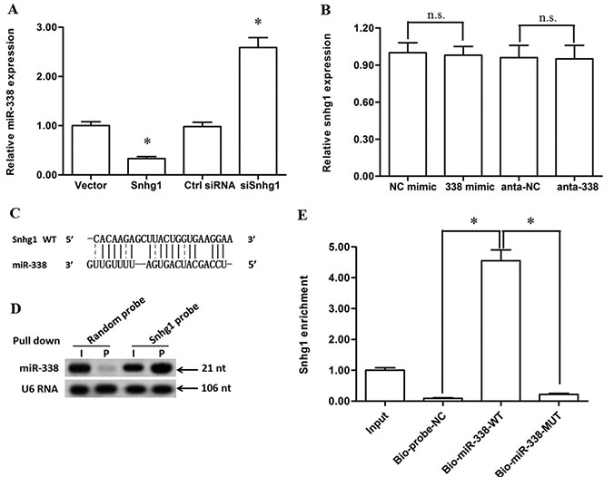 LncRNA-Snhg1 directly bound with miR-338 and acted as a non-degradable sponge for miR-338.
