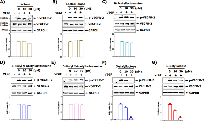 Screening of milk sialic oligosaccharides for their ability to inhibit VEGFR-2 activation.
