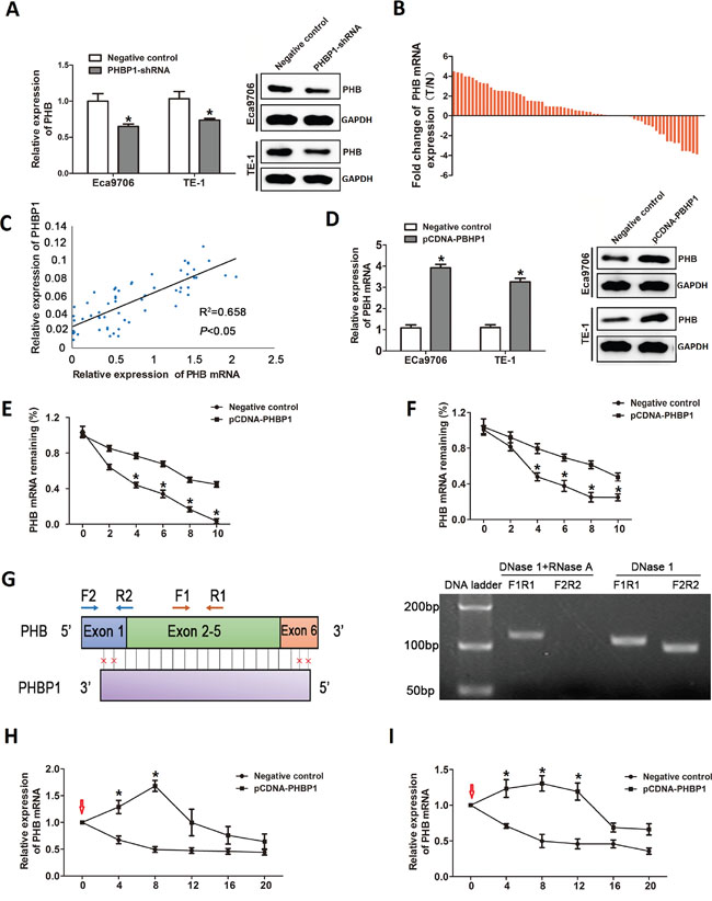 The regulatory effect of PHBP1 on PHB expression.