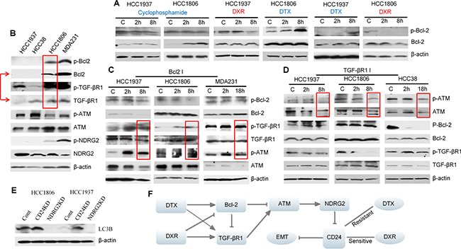 Interactions between Bcl-2, TGF-βR1 and ATM signaling in TNBC cells treated with either docetaxel (DTX) or doxorubicin (DRX).