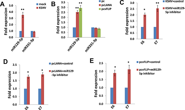 The up-regulation of miR129-5p is required for KSHV/viral latent proteins reducing HPV16 E6 and E7 expression.