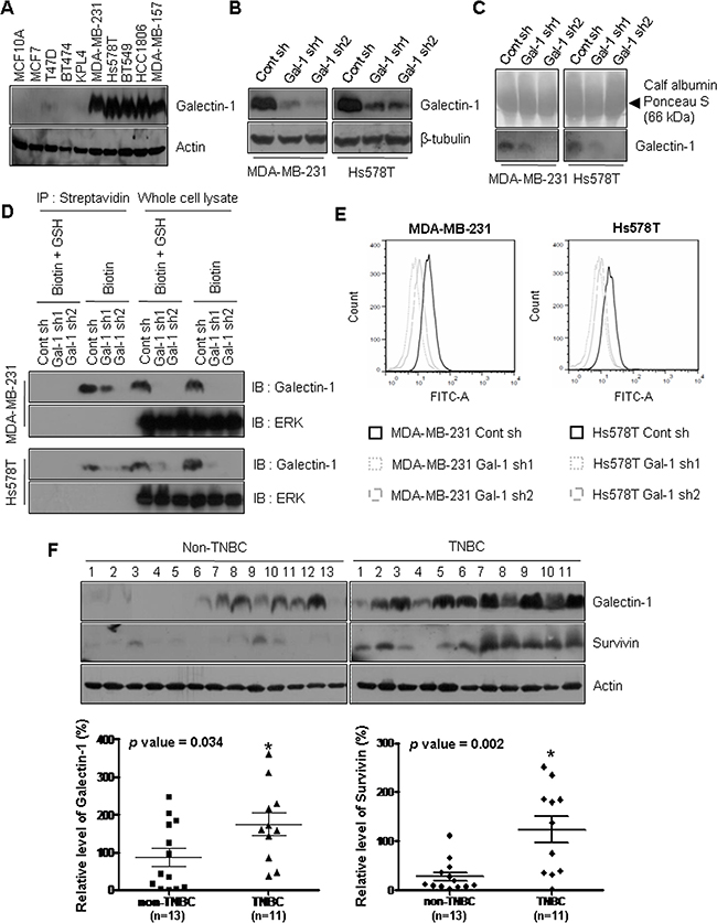 Galectin-1 is overexpressed in specimens from patients with triple negative breast cancer and ablation of galectin-1 decreases secretion and cell surface level of galectin-1.