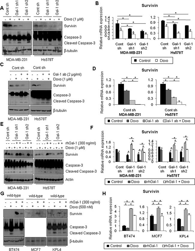 Ablation of galectin-1 blocks doxorubicin-induced survivin expression.
