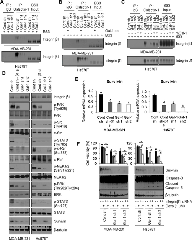 Extracellular galectin-1 up-regulates the FAK/c-Src/ERK/STAT3/survivin pathway by directly interacting with integrin β1.