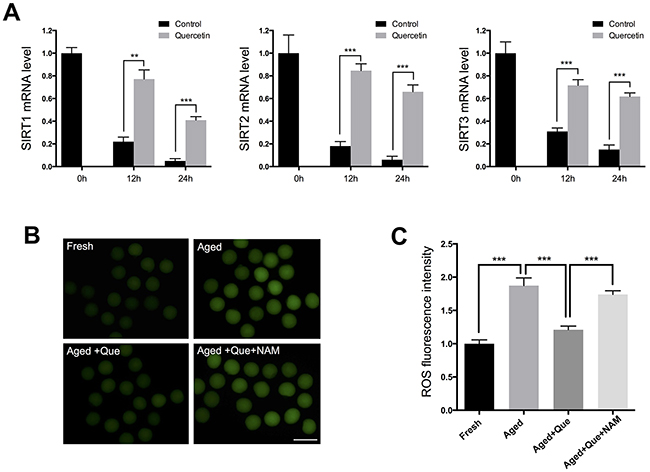 Effects of quercetin on SIRT1, 2, and 3 expression during postovulatory aging.