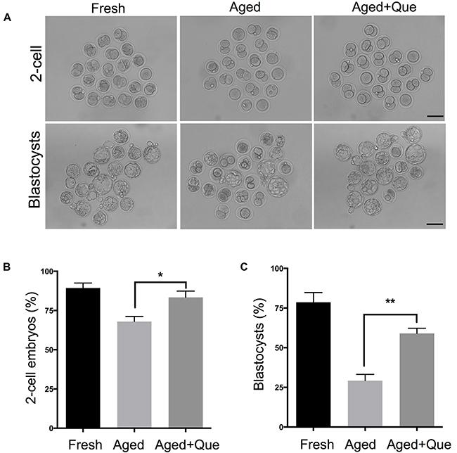 Quercetin improves preimplantation embryo development.