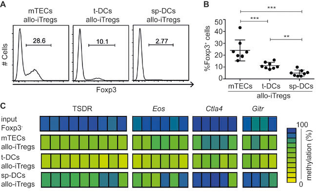 Thymic APCs very efficiently induce allo-iTregs with highest demethylation at TSDR and other Treg-specific epigenetic signature genes.
