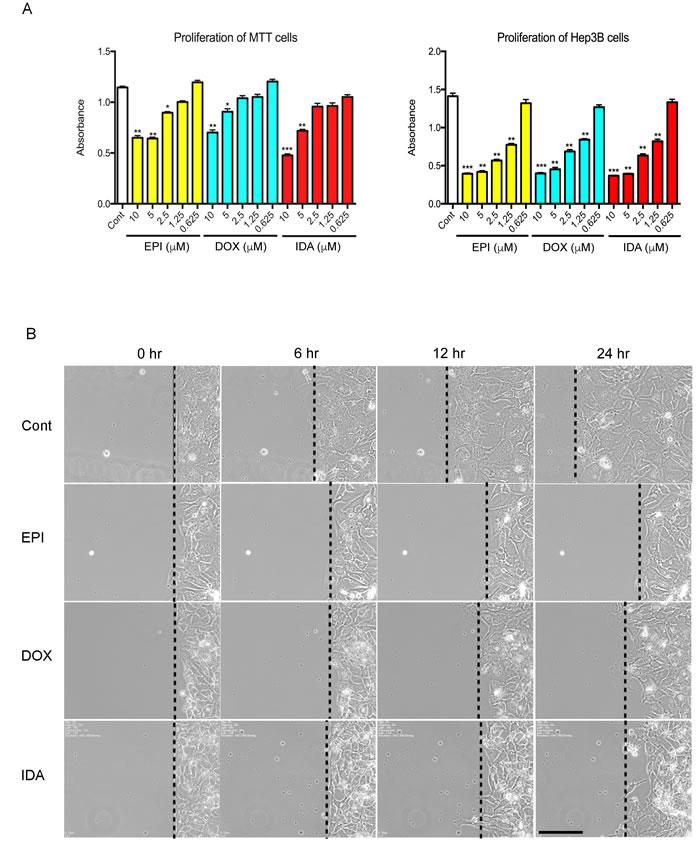 Effects of anthracyclines on cell proliferation and cell migration.