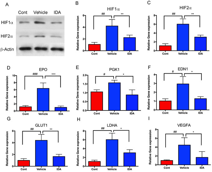 IDA suppressed transcriptional activities of HIFs and their target genes.